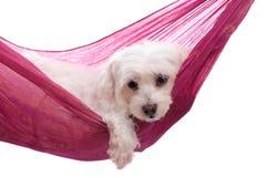 Verwend puppy dat in hangmat ligt Stock Afbeeldingen