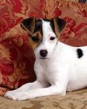 Verwend Puppy met Rode Hoofdkussens Stock Foto