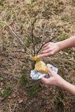 Verwerking van de appelbomen van de tuinent in de lente stock fotografie