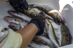 Verwerkingsvissen Het schoonmaken vissen na visserij Royalty-vrije Stock Foto
