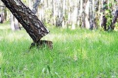 Verwijderde boomboomstam in het hout Ontbossingsconcept en wanneer een boom in een bos valt stock fotografie