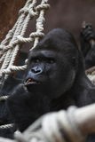 Verwirrter östlicher Gorilla Lizenzfreie Stockbilder