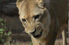 Verwirrungs-Löwin mit ihren Zähnen sichtbar lizenzfreies stockbild