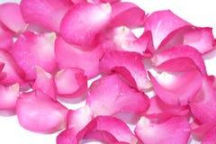 Verwischt einem Stapel des süßen Rosas stiegen Korolla auf weißem lokalisiertem Hintergrund stockbilder