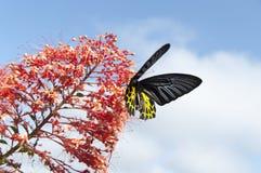 verwischt vom Schmetterling, der Nektar vom Bluetenspitzerotstaubgefässe saugt Stockbilder