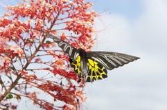 verwischt vom Schmetterling, der Nektar vom Bluetenspitzerotstaubgefässe saugt Lizenzfreies Stockbild