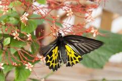 verwischt vom Schmetterling, der Nektar vom Bluetenspitzerotstaubgefässe saugt Lizenzfreie Stockfotos