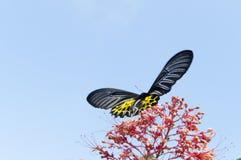 verwischt vom Schmetterling, der Nektar vom Bluetenspitzerotstaubgefässe saugt Lizenzfreie Stockbilder