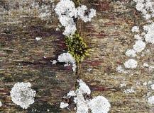 Verwitterte Holzoberfläche mit bunter Vegetation von Flechten und von Moos Stockbild
