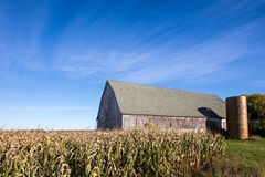 Verwitterte Scheune hinter einem Feld von Mais mit blauem Himmel Lizenzfreie Stockfotografie