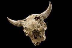 Verwitterter Büffelschädel lokalisiert lizenzfreie stockbilder