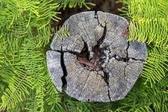Verwitterter Baumstumpf umgeben durch Farne Stockfotos