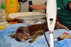 Verwonde Koala Stock Fotografie