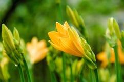 Verworpen knoppen van gele lelies Royalty-vrije Stock Afbeelding