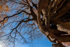 Verwurzelter Baum unter dem Herbsthimmel Stockfotografie