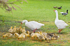 A very abundant offspring. This image shows a pair of geese with an abundant offspring,  on a meadow Royalty Free Stock Photos