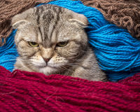 Very angry cat looking sternly. Wrapped in colored wool thread stock image