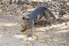 Very angry fossa, kirindy Royalty Free Stock Photo