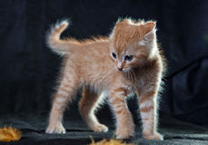 Very angry ginger tiger-kitten. A ginger blue-eyed kitten, very angry against dark backgound Royalty Free Stock Photography