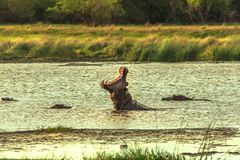 African Hippopotamus angry royalty free stock images