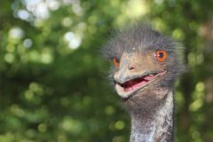 Very Angry Ostrich Royalty Free Stock Photography