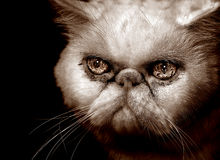 Very Angry Persian Cat Stock Images