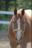 Very attractive horse mare. The sun on the back of this horse Royalty Free Stock Photo
