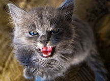 Very bad kitty look beast. Very bad kitty the look of this beast Stock Photo