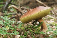 Very beatiful cep in natural enviroment Stock Images