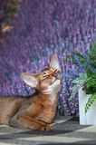 Very beautiful Abyssinian cat, kitten sniffs lavender flower on the background of a lavender. Field royalty free stock image
