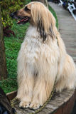 Very beautiful Afghan Hound Stock Photos