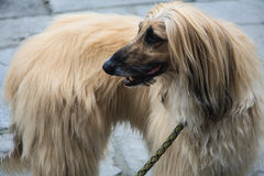 Very beautiful Afghan Hound Royalty Free Stock Photography