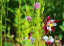 Very beautiful Aquilegia hybrid bloomed Stock Images