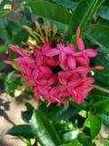 very beautiful asoka pink flowers stock image