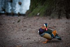 Mandarin duck from Warsaw park. Very beautiful bright and color duck from the Warsaw park royalty free stock images