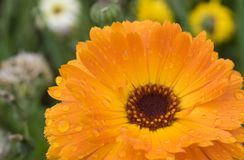 Lovely orange flower. Very beautiful bright orange flower, close up Royalty Free Stock Photo