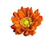 Very beautiful bright orange flower, isolated on Royalty Free Stock Images