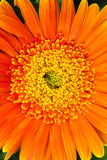 Very beautiful bright orange flower Stock Images