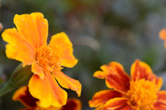 Very beautiful bright orange flower Royalty Free Stock Photos