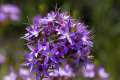 Very beautiful Calytrix glutinosa Sticky Starflower,. Western Australian wildflowers Calytrix glutinosa Stock Photos