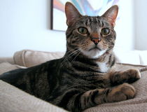 Very beautiful cat sitting on the couch  looking Stock Photos