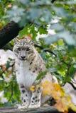 Beautiful cat snow leopard, Uncia uncia. Very beautiful cat snow leopard, Uncia uncia resting on tree Stock Photography