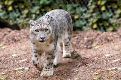 Beautiful cat snow leopard, Uncia uncia. Very beautiful cat snow leopard, Uncia uncia walk Royalty Free Stock Images