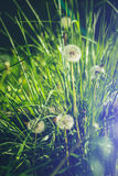 Very beautiful close up photo of dandelions. Stock Images