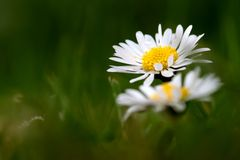 Very beautiful daisies on my path stock images