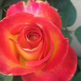 Double delight. A very beautiful double delight fully open very beautiful orange and yellow rose royalty free stock image