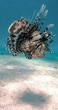 Devil firefish or Common lionfish Royalty Free Stock Photo