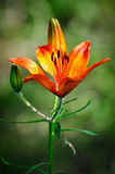 Very beautiful flower lily stock photos