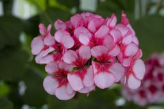 Pink and white flowers in the royal garden royalty free stock photos