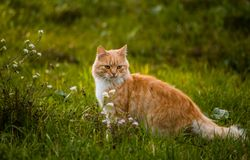 Wild red cat find something to eat. Very beautiful and fluffy red cat Stock Images